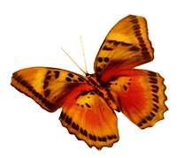 Yellow/Red Butterfly