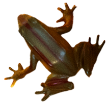 Other Frog